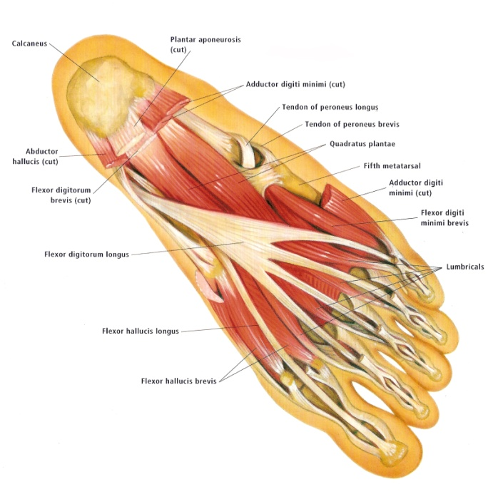 Intrinsic Foot Muscles - Perfect Form Physiotherapy