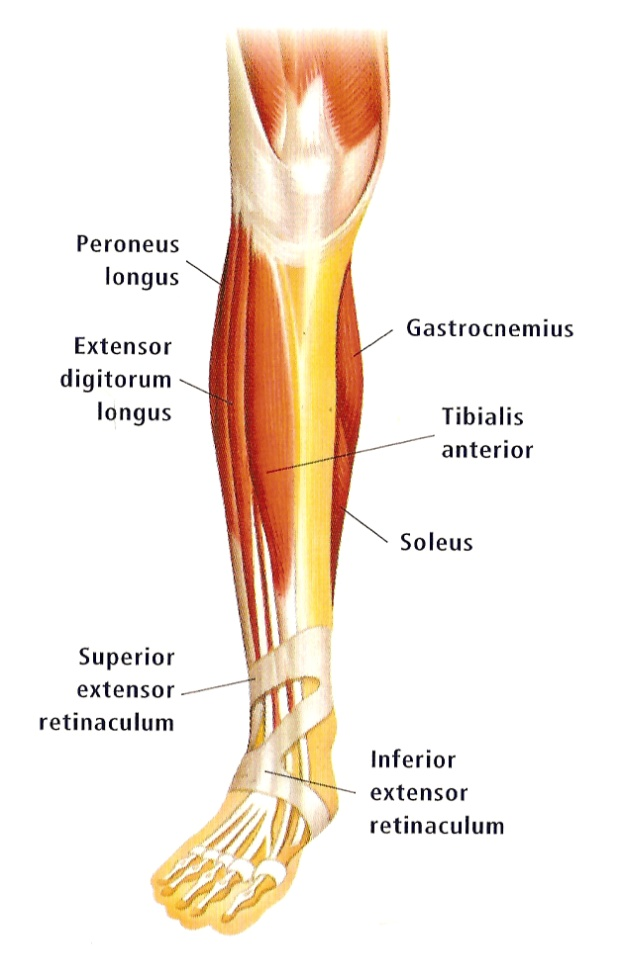 Soleus - Perfect Form Physiotherapy Soleus Muscle Pain Symptoms